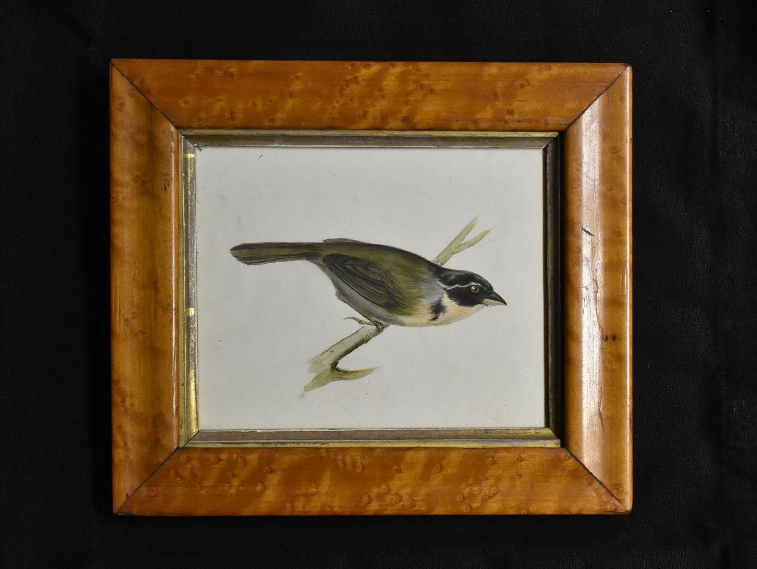 19th century watercolour - 'Coal Tit'