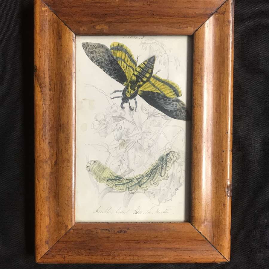 19th c. watercolour - Death's Head Hawkmoth