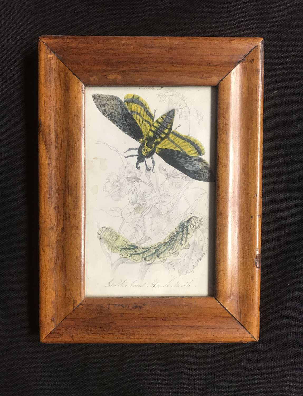 19th c. watercolour - Death's Head Hawkmoth