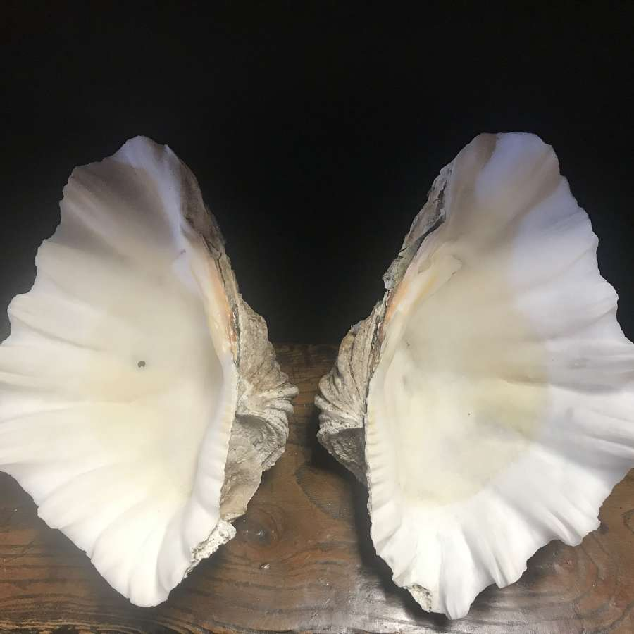 Decorative clam shell