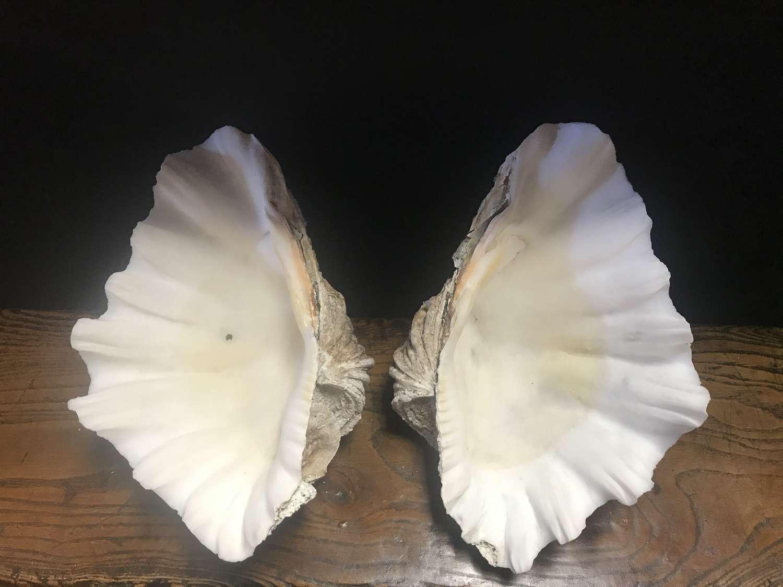 Decorative clam shell